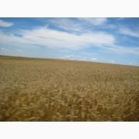 Пшеница фуражная 290т, Рогатын