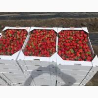 Продам ягоду Клубники сорт Клери