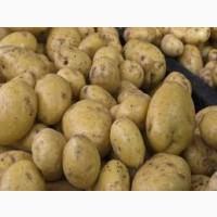 Закупаем картофель молодой оптом