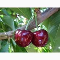 Сад реализует черешню только оптом от 3 тонн