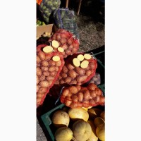Картофель Ривьера ! Картопля. Картошка