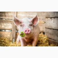 Продам откормочные свиньи 110-120кг