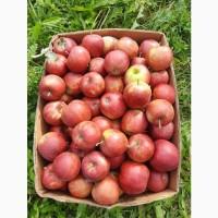 Продам оптом яблука
