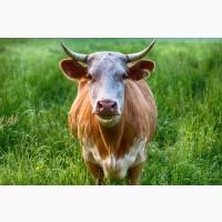 Куплю дорого корів та телят, коней та лошат