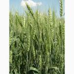 Семена пшеницы озимой - сорт Антоновка. 1 репродукция