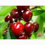 Саженцы черешни, вишни и алычи