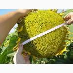 Пропонуємо насіння соняшника Нео(107-110 дн.)