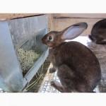 Продам кролики племенные- Рекс (шиншила, кастор)