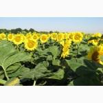 Насіння соняшнику - Бенето (102-107 дн)