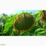 Семена подсолнечника под Евролайтинг - БОГДАН (стандарт и экстра)