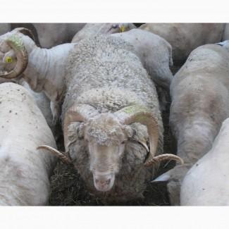 Куплю бараны, овцы козы