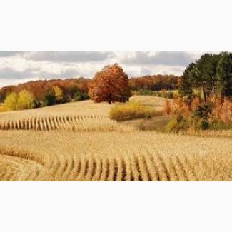 Закупаем пшеницу 2-6 класса. Вся Украина
