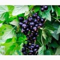 Саженцы смородины черной Вернисаж