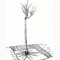 Куплю саженцы шиповника: подвой для штамбовых роз
