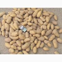 Семенной картофель Гранада, Рокко
