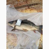 Продам живую рыбу Щуку Карп Карась Толстолобик Амур