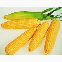 Семена кукурузы Новый, Здобуток, Моника