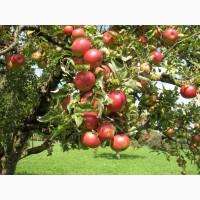 Продам яблоко на подбор