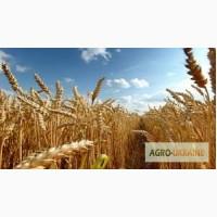 Продам посевной материал пшеницы Шестопаловка Элита и 1 репродукция