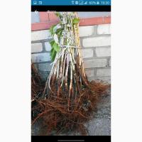 Продам саженцы малины Полана
