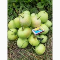 Продам яблоко оптом, сорт Папировка. Урожай 2019 года