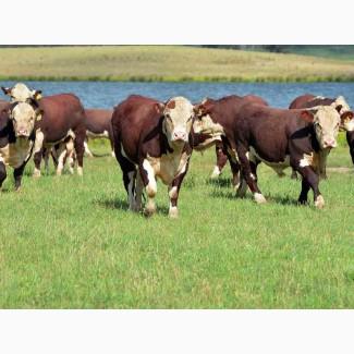 Закупаем бычков живым весом