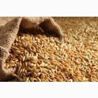 Закупаем Пшеницу от 60т с места, на постоянной основе
