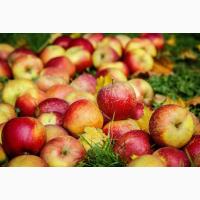 Куплю яблука Опт та родзіб