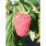 Продам ягоды малины сорт Полка