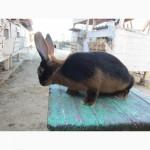 Продам кролики племенные черно-огненные