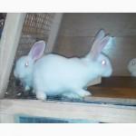 Продам Кролик Белый Паннон: Молодняк самки и самцы и Мясо кролика