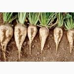 ГРАН» продає посівний матеріал гібриду цукрового буряку «Авторитетний»