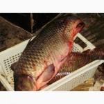 Закупаем на постоянной основе пресноводную рыбу в ассортименте