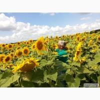 Продам насіння гібриду соняшнику Богдан ІМІ