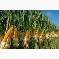 Семена кукурузы Даниил, ФАО - 280