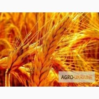 Породам посевной материал пшеницы Шпаловка Элита
