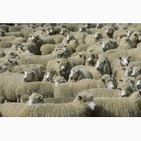 Продам овец (баранину)