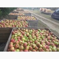 Продам яблука врожаю 2020 з саду