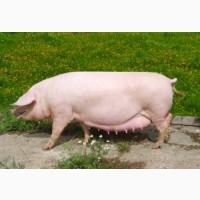 Премикс для супоросных свиноматок