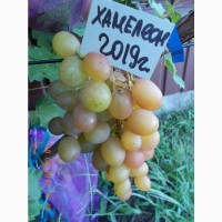 Виноград саженец Хамелеон