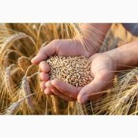 Куплю пшеницю 2 клас