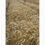 Семена пшеницы озимой - сорт Одесская 267. 1 репродукция