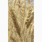 Продаем семена чешской яровой пшеницы сорт Аранка. Элита и 1 репродукция