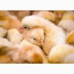 Продам суточных цыплят КОББ 500, РОСС-308