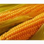 Кукуруза Оржица 237 Мв