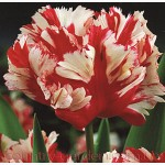 Продам луковицы Тюльпанов Попугайных