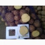 Семенной картофель оптом