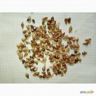 Продам чеснок воздушку Любаша от 1 кг