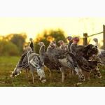 Продам цыплят суточных и подрощеных породы Харко, Тетра, Фокси чик