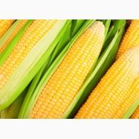 Купим кукурузу крупнным оптом. Вся Украина